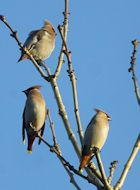 waxwing in carpark140.jpg
