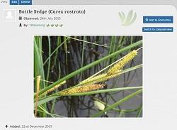 Carex sedge 250.jpg