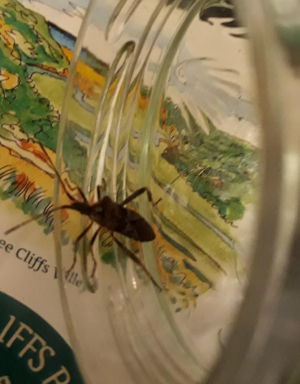 Western Conifer Seed Bug?