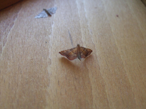 orange moth with upturned tail