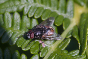 Face Fly (Musca autumnalis)