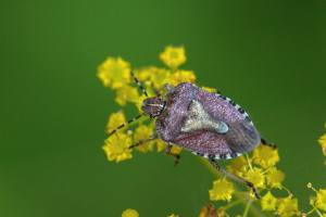 Sloe Shieldbug (Dolycoris baccarum)