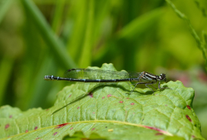 type of damselfly
