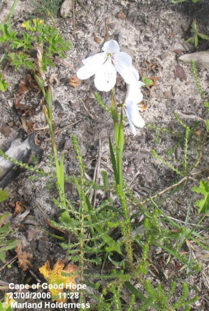 Aristea spiralis, Cape Point - 2006
