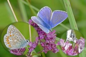 Blue butterfly at Bedford Purlieus