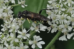 Wasp-like insect (2)