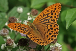 Fritillary in Monks Wood