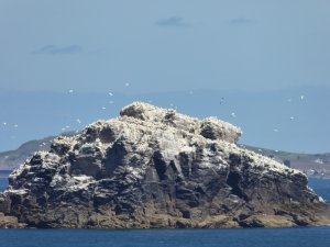 Gannets galore