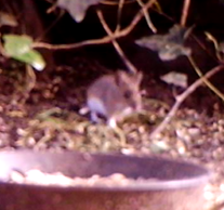 Field Mouse? (ID confirmation required)