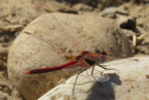 Sympetrum fonscolombii (Nomad)