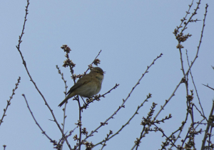 Chiffchaff singing on local patch