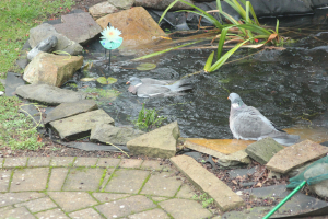 Swimming Woodpigeon