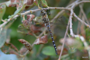 Possible Migrant Hawker Dragonfly