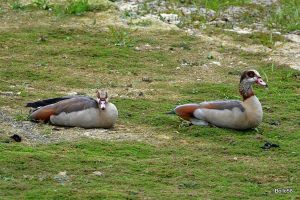 Pair of Egyptian Geese chilling-out at water's edge