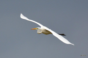 Great White Egret overflying the reservoir
