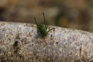 Oak Bush-cricket..?