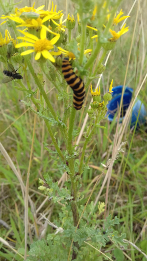 Cinnabar Moth caterpillar