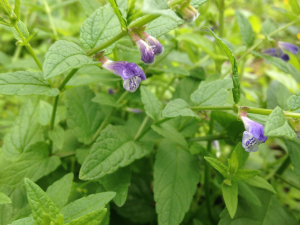 Unknown plant - possibly Skullcap?