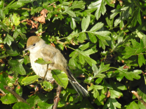 Blackcap - female or juvenile