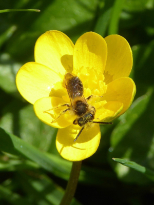Fly or other insect on lesser Celandine