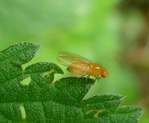 Query fly .... hoverfly ..... ?