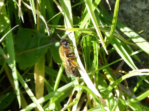 Mining bee (looks quite like a honey bee)
