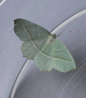 Little Emerald Moth ?