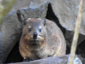 Still the north-most coastal Dassies in the Southern Hemisphere?