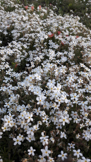 Pretty white annuals