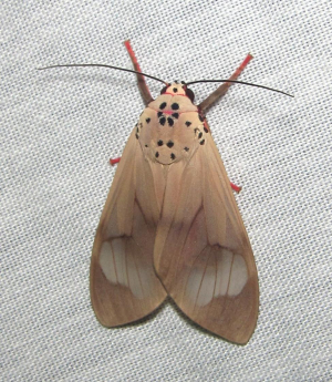 Light-brown moth