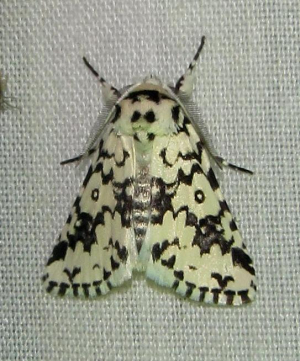 Black and white moth 1