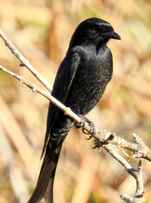 Drinking Drongo