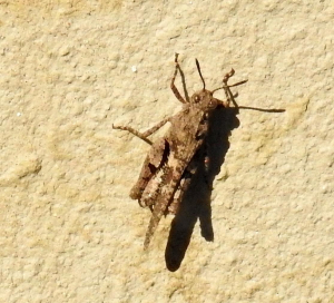 Small hopper on the wall -a strong flier.