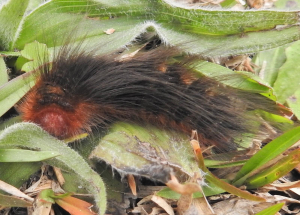 Hairy brown, with orange head, caterpillar