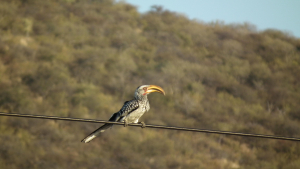 Southern Yellow-billed Hornbill (C33)