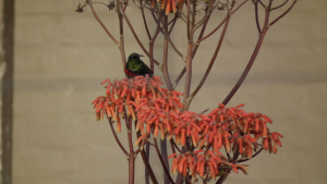 Southern Double-collared Sunbird (D-Dam)
