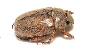 Hairy Chafer
