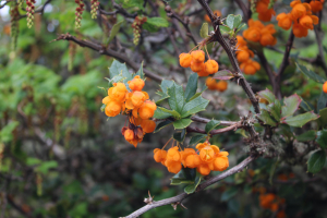 Holly-leaved barberry, Patagonia