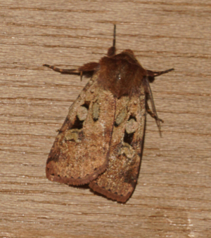 Unknown moth in back garden moth trap