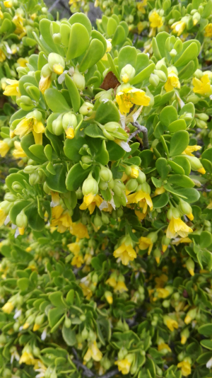 Twinleaf -- Bush with Yellow flowers