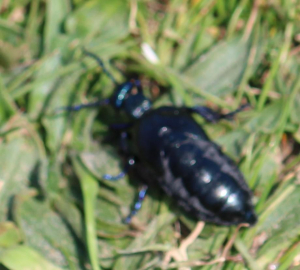 Voilet Oil Beetle