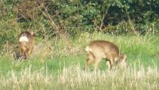 Roe deer grazing