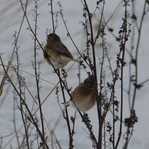 Twites? [actually concluded Linnets]