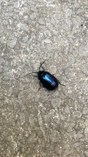 Little black beetle