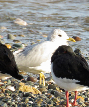 Gull with Oystercatchers