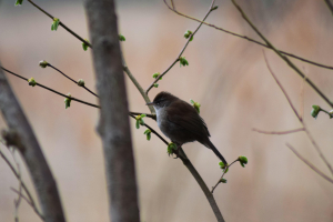 (Cetti's Warbler) Any ideas what this could be?