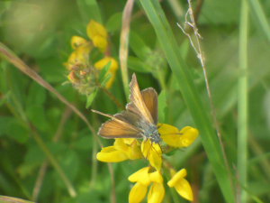 Large Skipper?