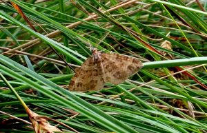 Unidentified moth species