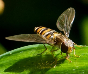 Unidentified flying insect (hoverfly sp.?)