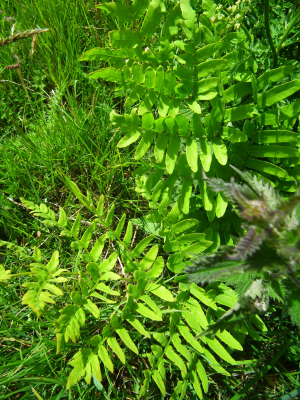 Distinctive fern growing in a wet ditch
